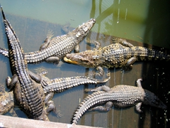 Crocodile farm; Tonle Sap