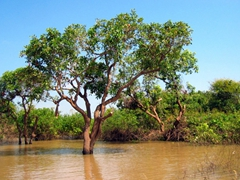 Trees grow in water; Tonle Sap