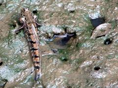 Blue-spotted mudskipper; Tasik Dayang Bunting island in Langkawi