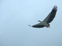 An eagle soars overhead at Pulau Singa Besar eagle sanctuary