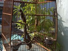A sing song bird in Georgetown, Penang