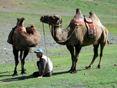 Bactrian camels for rent; Gurvansaikhan National Park
