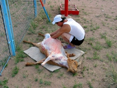 A goat is slaughtered for our dinner; Saikhan Ovoo Wild Ger Camp