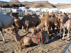 Bactrian camels in a pen at the Saikhan Ovoo Wild Ger Camp