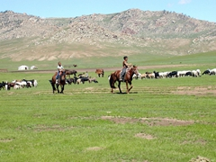 Mongolian boys rounding up their cattle