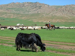 A Mongolian cow grazes while a boy rounds up the rest of his livestock in the background