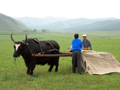 A mongolian yak is used to transport a ger; Jalman Meadows Ger Camp