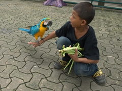 A young boy working at Nong Nooch plays with a blue and yellow macaw