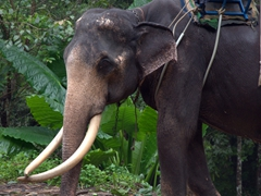 Elephant for rent near Na Muang waterfall where tourists can take an elephant trek down to the waterfall; Ko Samui