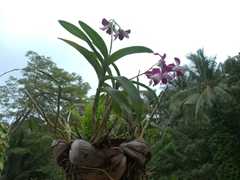 Orchids growing from a coconut pot; Chaweng Beach