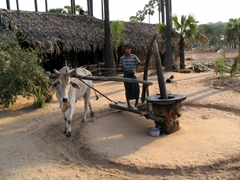 Farmer creating fresh toddy oil; outskirts of Bagan