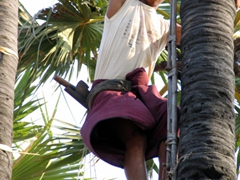 Climbing up the tree to collect toddy wine (it was surprisingly strong but tasty!)