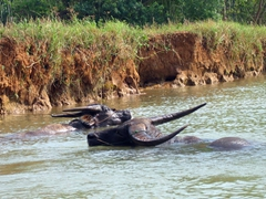 Water buffaloes cooling off; Inle Lake