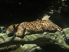 A jaguar lounges in the sunlight; Singapore zoo