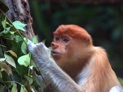 A juvenile proboscis monkey; Singapore zoo