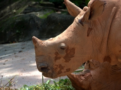 Side profile of a white rhino; Singapore zoo