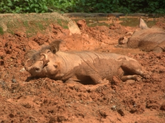Sleepy warthogs wallow in the mud; Singapore zoo
