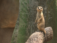 An inquisitive meerkat checks us out; Singapore zoo