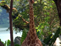 A hopeful giraffe awaits a food handout during the daily feeding at the Singapore Zoo