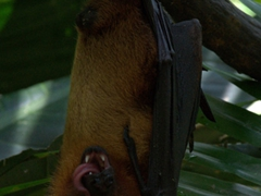Yummy papaya! A Malay flying fox enjoys a tasty snack