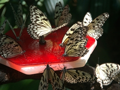 Butterflies feeding; Singapore zoo