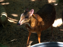 A curious mouse deer checks us out; Singapore zoo