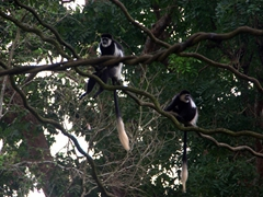 Snapshot of two black and white colobus monkeys; Singapore Zoo