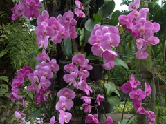 Beautiful orchids in bloom at the main entrance to Jurong Bird Park