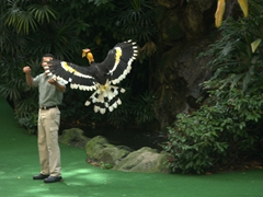 A great pied hornbill flies back to its trainer; Jurong Bird Park