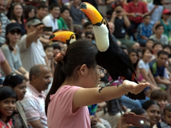 "A volunteer holds steady as two Toco Toucans land on her outstretched arms during a ""Birds n Buddies"" show; Jurong Bird Park"