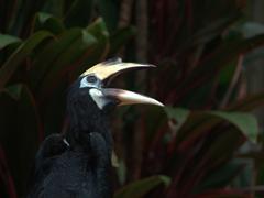 A hornbill strikes a pose; Jurong Bird Park