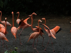 Flamingoes strut their stuff; Jurong Bird Park