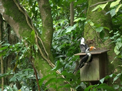 Two hornbills pause for a photo; Jurong Bird Park
