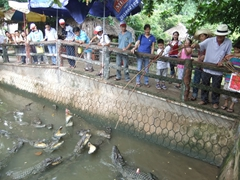 Crocodile feeding time!