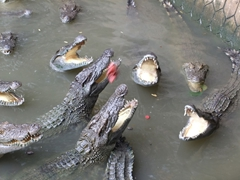 The crocodiles fight over pieces of meat dangled from up above; My Tho