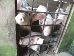 Curious pigs check us out; Can Tho floating market stop