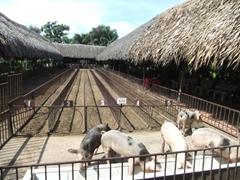 Pigs celebrate with a meal at the culmination of their race track; My Khanh Village