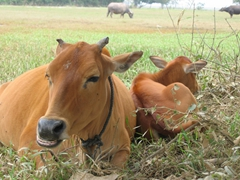 Bored cows lazily check us out; outskirts of Hanoi