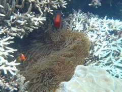 Clown fish aggressively protecting their nest; Mun Island