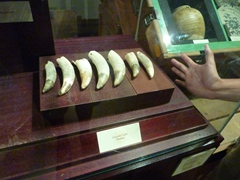 Massive crocodile teeth (see the hand next to the display case as a reference point); National Museum