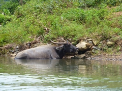 Water buffalo in the river leading towards Pagsanjan Falls, the location where the closing scenes of Apocalypse Now were shot by Francis Ford Coppola
