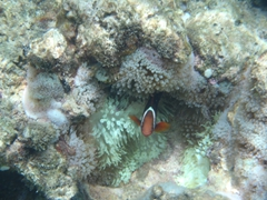 Close up of a clown fish; Crocodile Island
