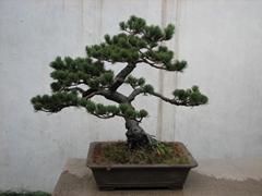 Bonsai tree on display at the Garden of the Master of the Nets