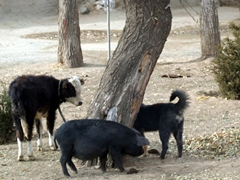 Only in Tibet...a cow, a pig, and a dog are hanging out by the tree