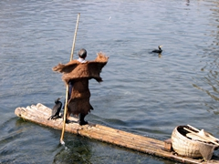 We actually felt really bad for the cormorants. They are encouraged to catch fish, but have a ring around their necks so they are unable to swallow, making it easy for the fisherman to retrieve the fish