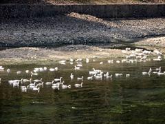 Ducks enjoying a rare moment of freedom; Li River