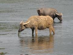 Water buffalo graze in their element; Li River