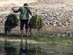 An old man carries a bundle of seaweed; Li River