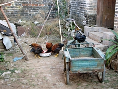 Chickens feeding in the front yard on our visit to a local family in Yangshuo