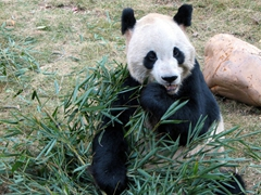 This young male panda is a celebrity in his own right, with a daily feeding bringing in hundreds of curious tourists